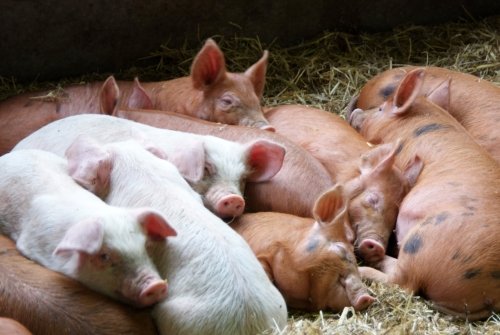 We would have made friends with these piglets but they were too busy napping.
