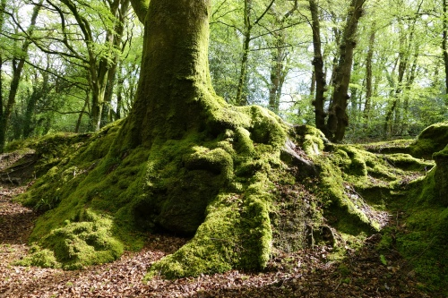Moss on tree roots in Luxulyan