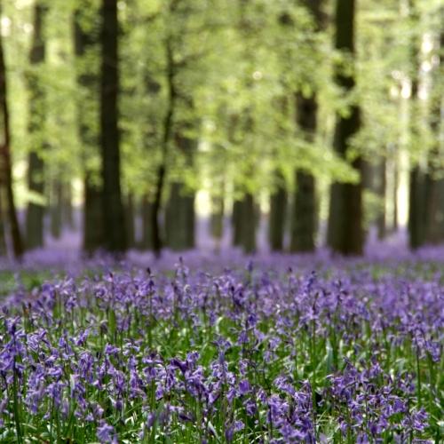 Bluebells Hertfordshire 2011