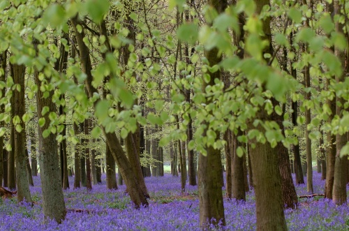 Bluebells Hertfordshire 2005
