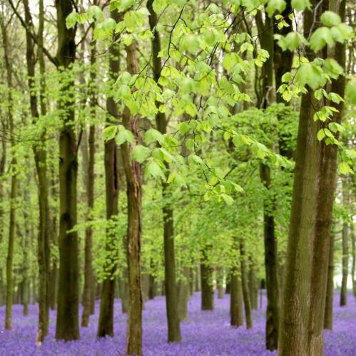 Bluebells Hertfordshire 2014