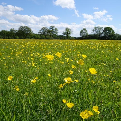 Buttercups at Bernwood Meadows