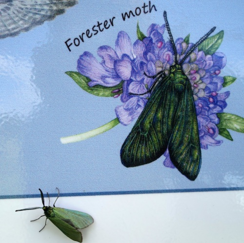 Forester moth at Bernwood Meadows