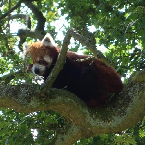 Red panda at Whipsnade