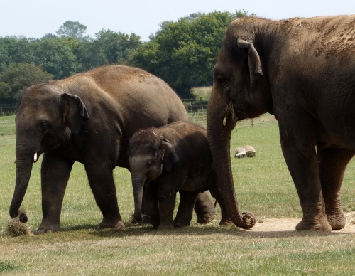 Asian Elephants at Whipsnade
