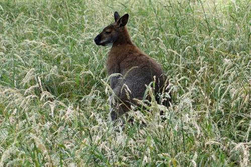 Wallaby at Whipsnade