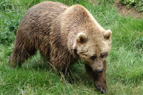 Brown bear at Whipsnade
