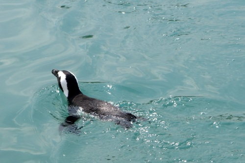 African Penguin at Whipsnade